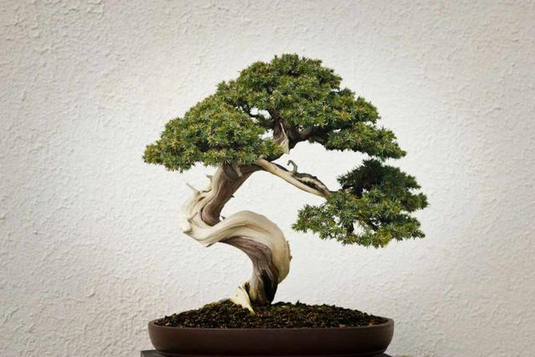 There's a Proper Way to Appreciate Bonsai
