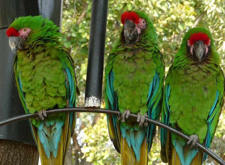 Military Macaws at Zoológico Los Coyotes | © Gary Denness/WikiCommons