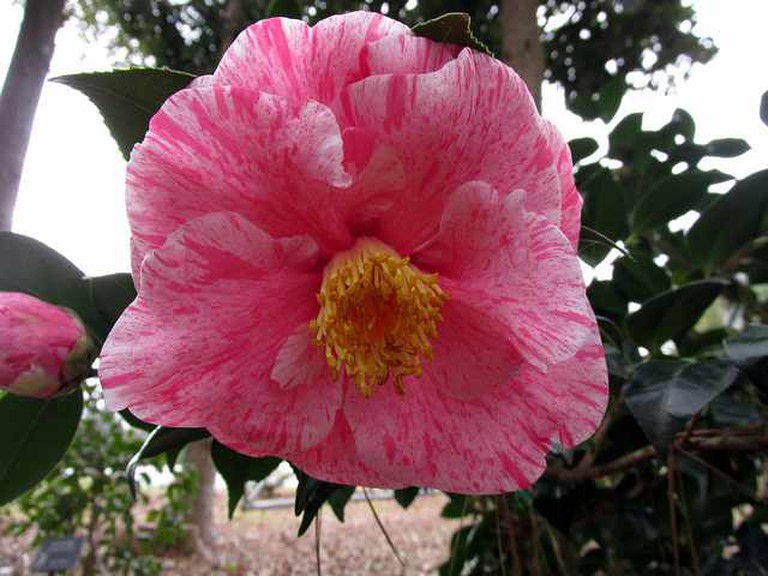 Camellia in Savannah Botanical Garden | ©‎ mwms1916/Flickr