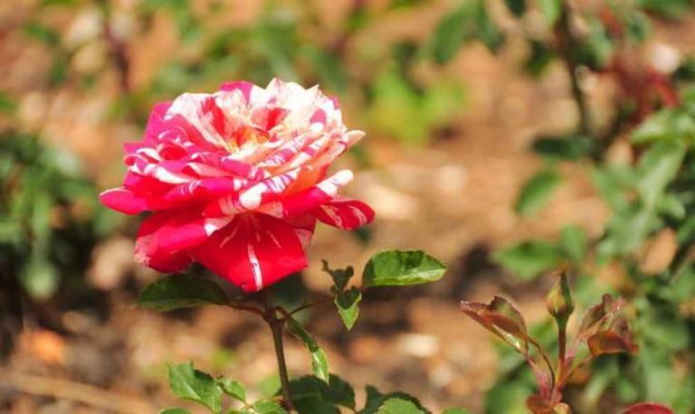 Whetstone Park of Roses © WikiCommons