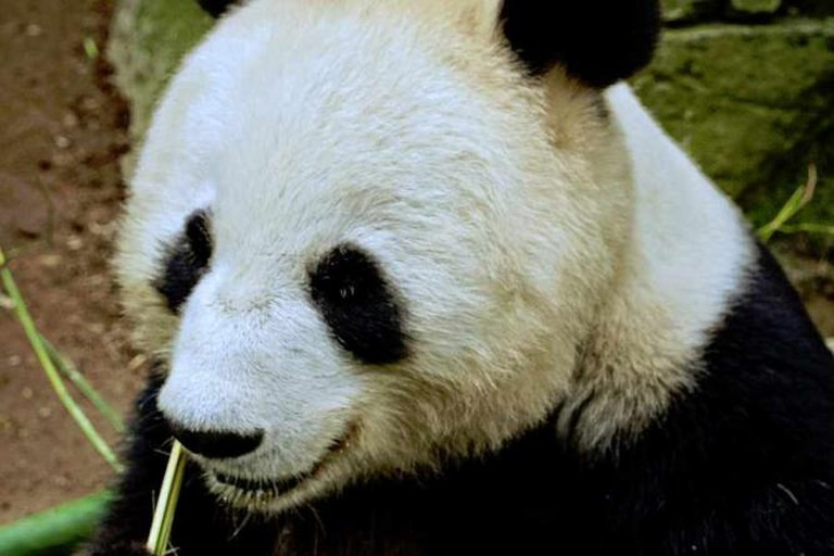 Panda at San Diego Zoo | © Mike Boening Photography/Flickr