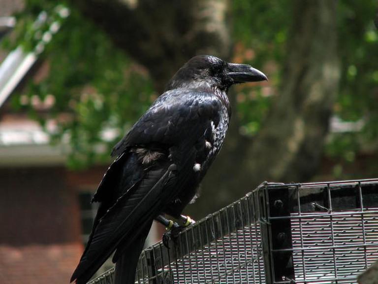 Tower of London Raven   © Tyler Brenot/WikiCommons