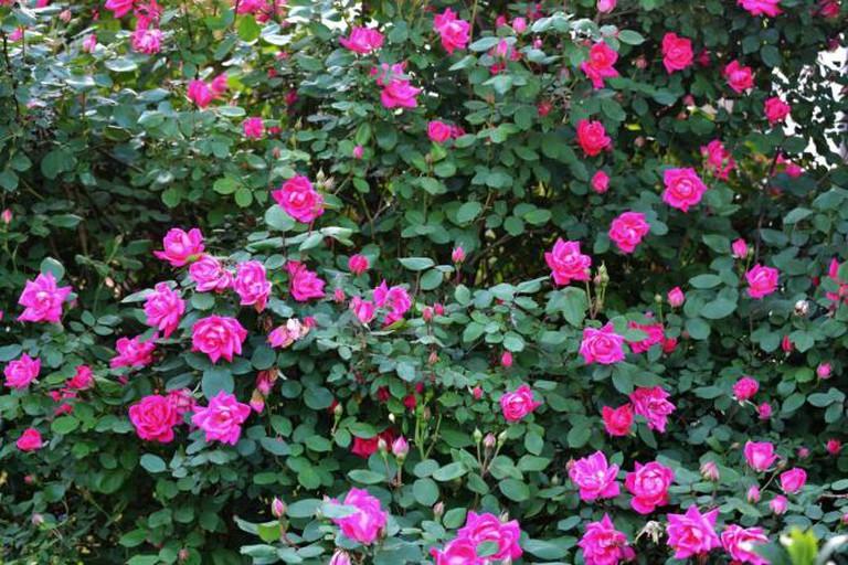 Rose bushes | © Tony Alter/Flickr