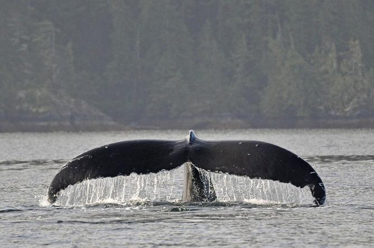 Humpback Whale Vancouver Island
