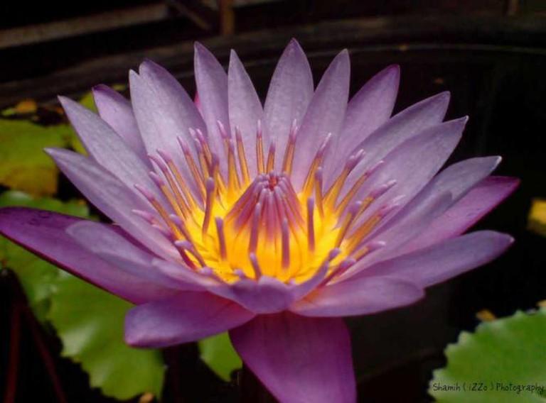 Lotus Flower, Trivandrum | © Easa Shamih/Flickr