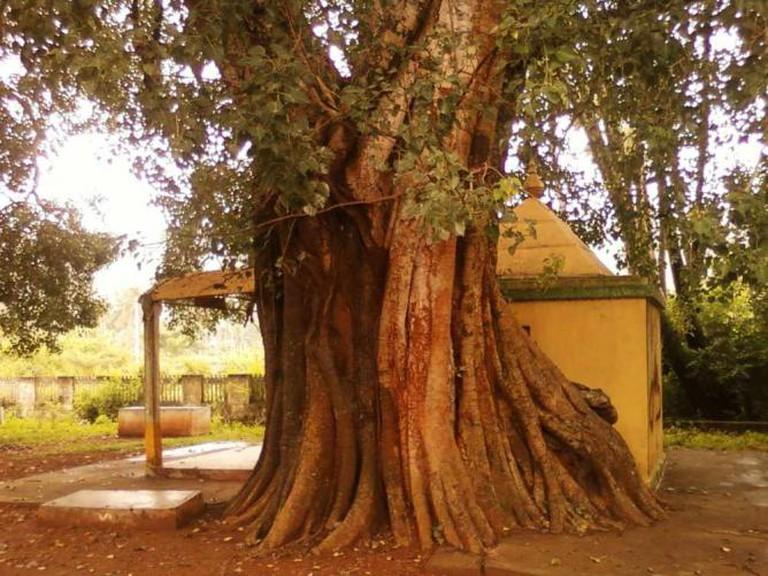 An old peepal tree in Andhra Pradesh   © Adityamadhav83/WikiCommons