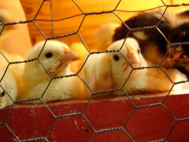 Chicks   © Willrad von Doomenstein/Flickr