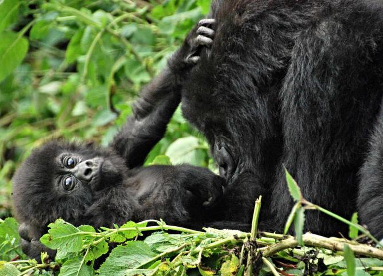 Mother and Baby Mountain Gorillas in Parc National Volcans