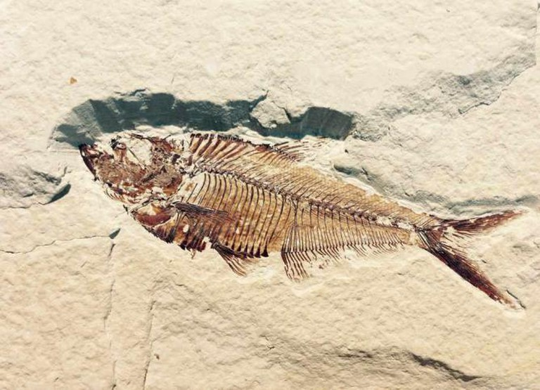 A fish fossil