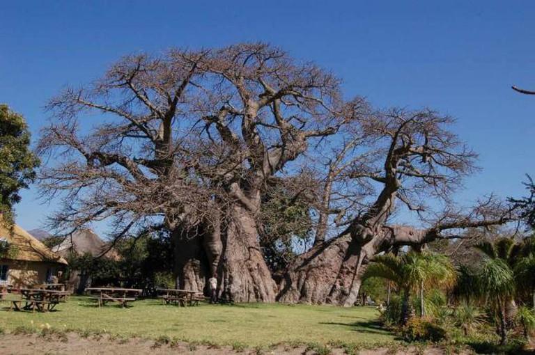 The Baobab Tree Bar, South Africa   © Danforth1/Flickr