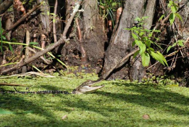Honey Island Swamp   ©Paul Mannix/Flickr