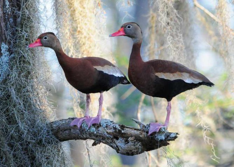 Black-bellied Whistling Duck at Clear Lake | ©Michael McCarthy/Flickr