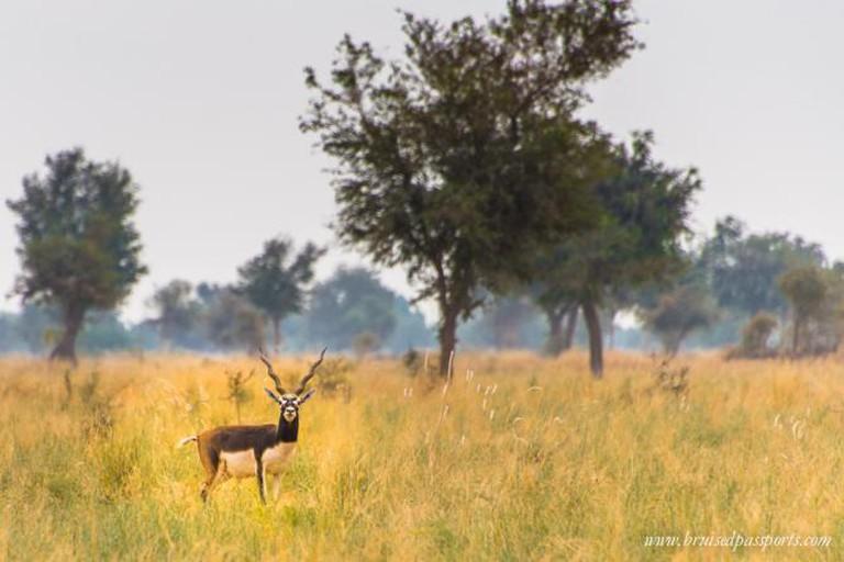 The majestic black buck