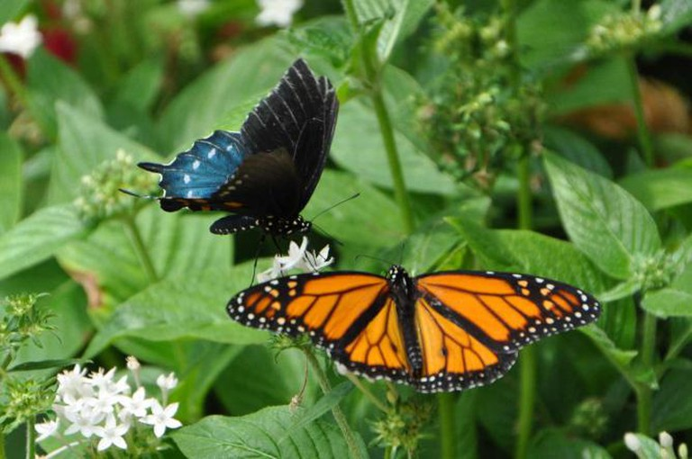 Black Swallowtail and Monarch