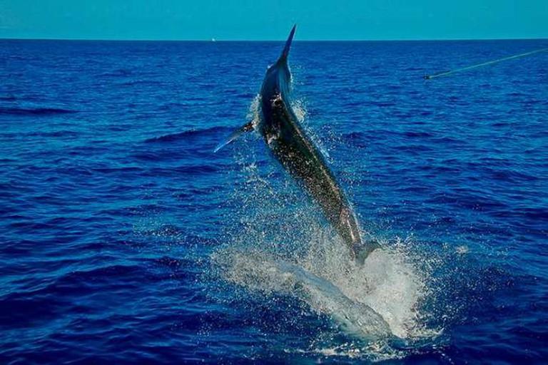 A jumping marlin