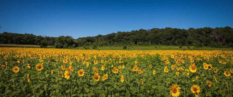 Sunflower field in Green County | Courtesy of Green County Tourism