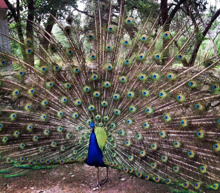 A Peacock at Mayfield Park and Nature Preserve