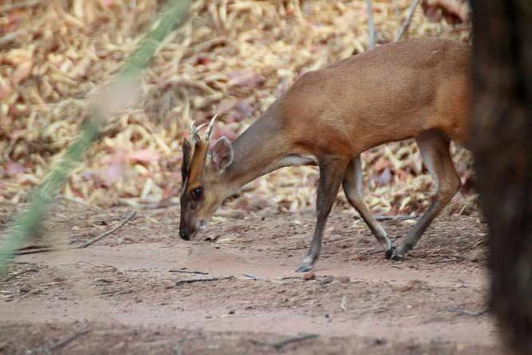 Indian Muntjac | © Brian Gratwicke/Flickr