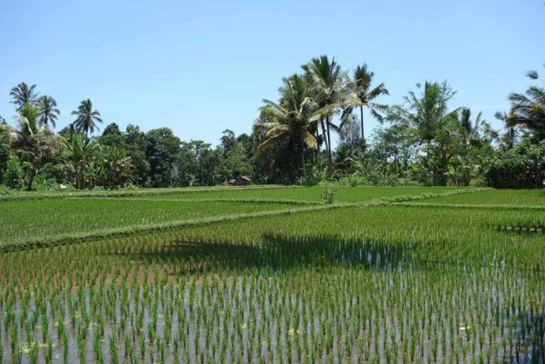 Rice field l ©ryan/Flickr