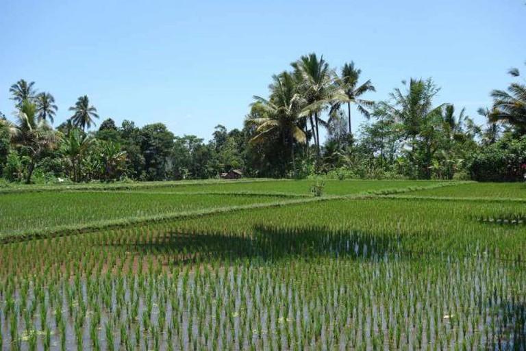 Rice field l ©ryan/Flickr
