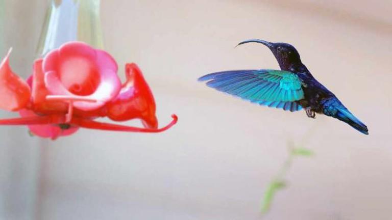Colibri re-traité   © Mickaël/Flickr