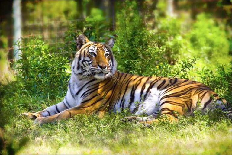 Tiger at Big Cat Rescue