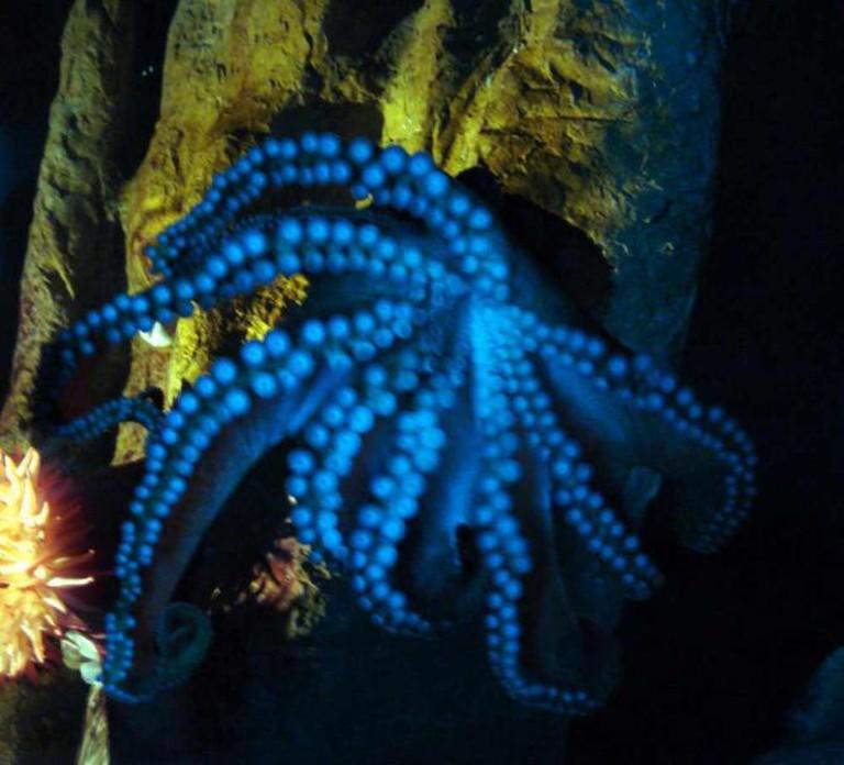 Octopus at Florida Aquarium