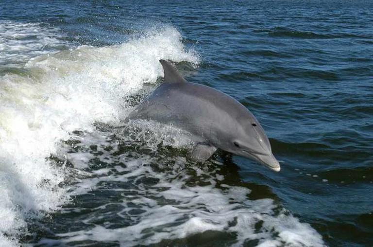 Bottlenose Dolphin | © Solipsist~commonswiki/WikiCommons