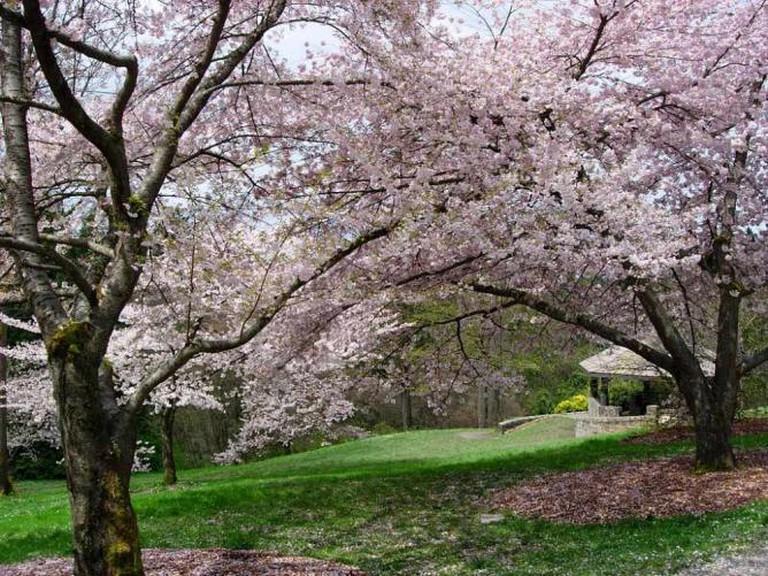 Washington Park Arboretum cherry blossom|©Hugh Millward/WikiCommons