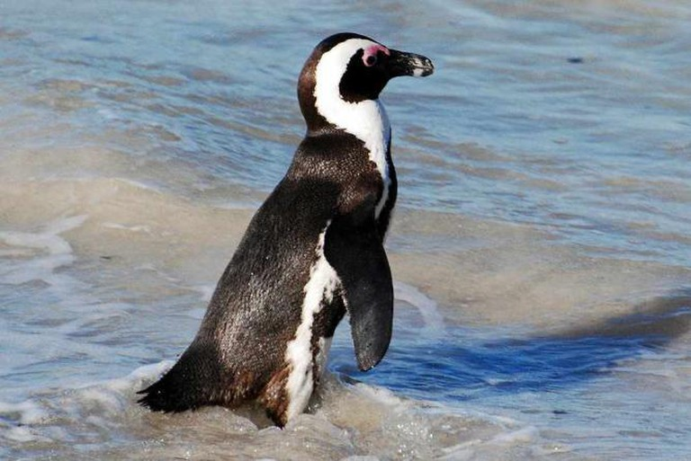 African Penguin, Cape Town | © Harvey Barrison/Flickr