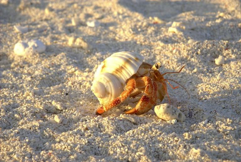 Hermit Crab   ©Fred von Lohmann/Flickr