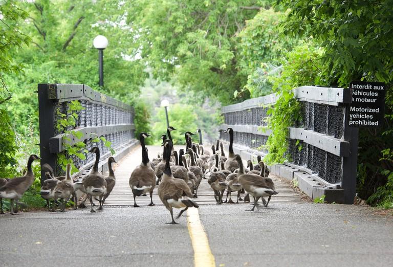 Ducks in the city. Wild birds walking in the park in Ottawa, Canada © Renata Apanaviciene