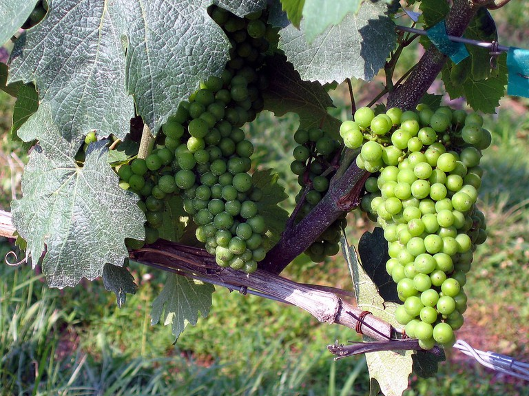 Vineyard Grapes   © Wendy Harman/Flickr