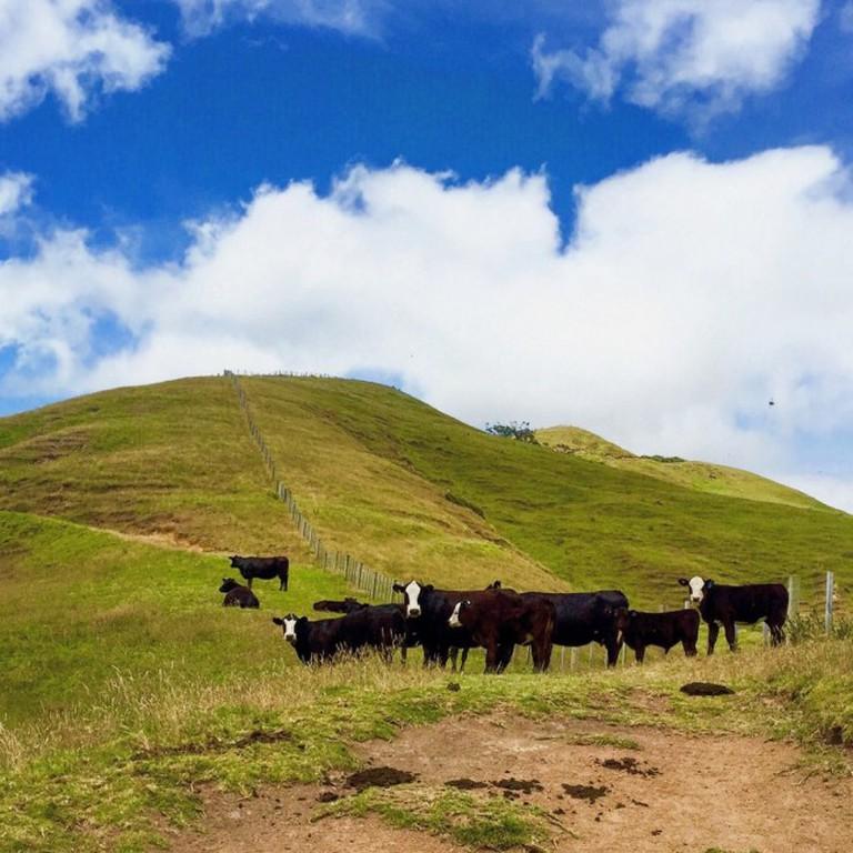 Cows on the Coromandel trail