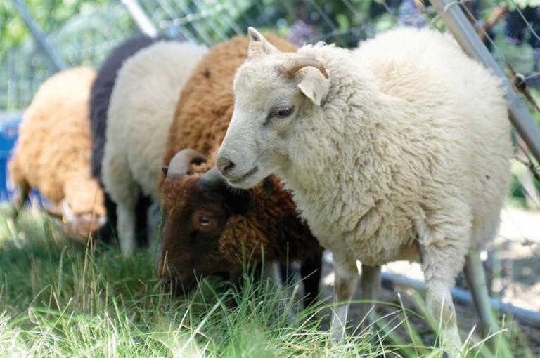 Southbrook's sheep | Courtesy of Southbrook Vineyards