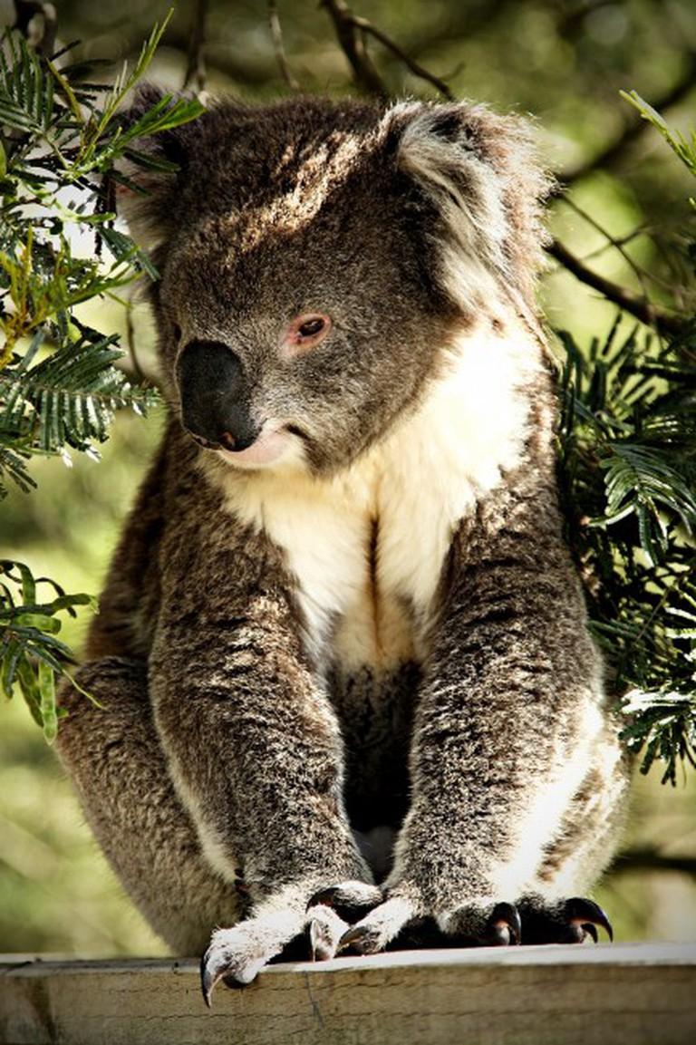 Koala in Phillip Island, ©Serg C, Flickr