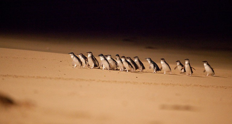 Penguin Parade, ©Phillipislandtourism, Wiki Commons