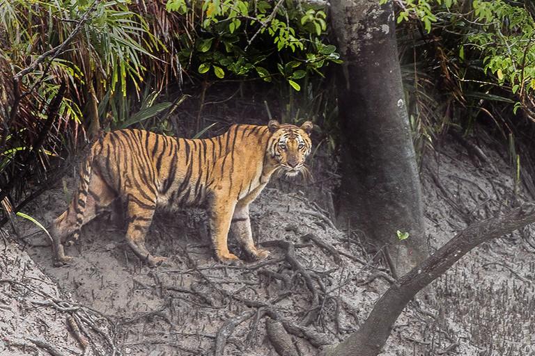 A Bengal Tiger at The Sunderbans | © Dibyendu Ash / WikiMedia Commons