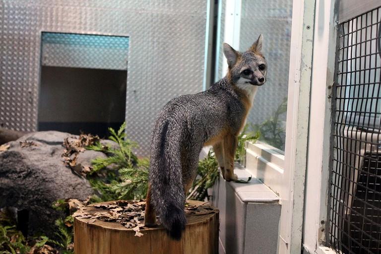 1200px-Gray_Fox_in_captivity