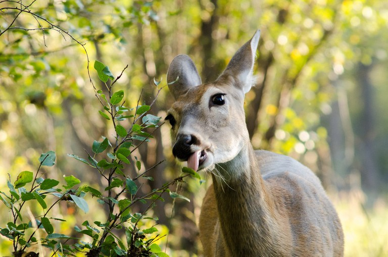 White Tailed Deer | © Colby Stopa/ Flickr