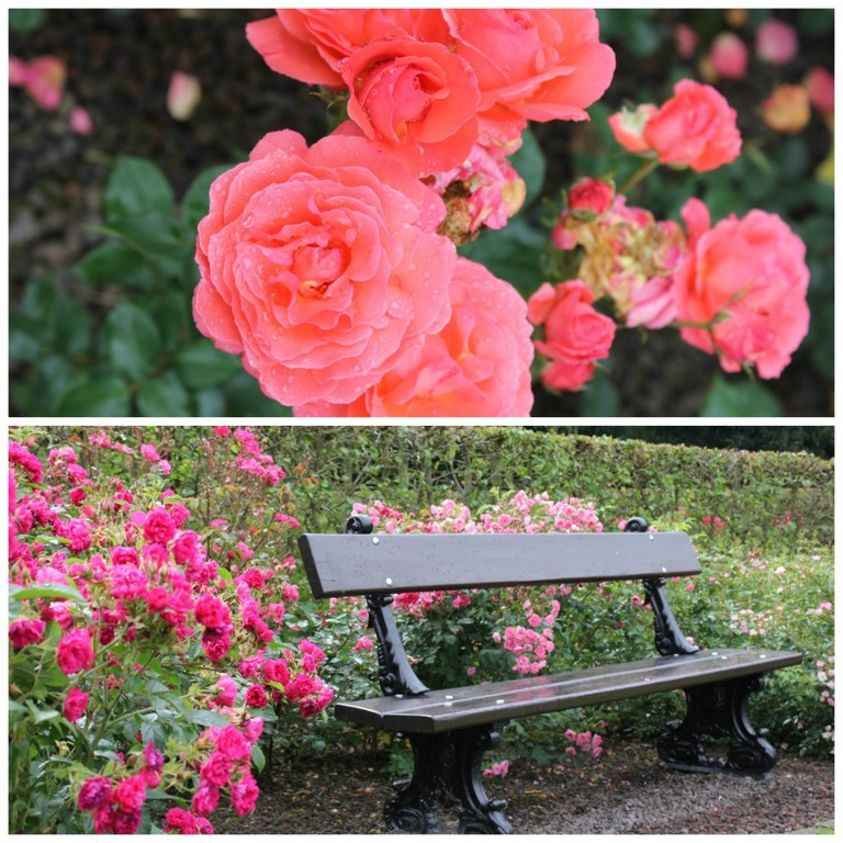 Enjoy the blooming roses on a secluded bench   Courtesy of Anne Boyle