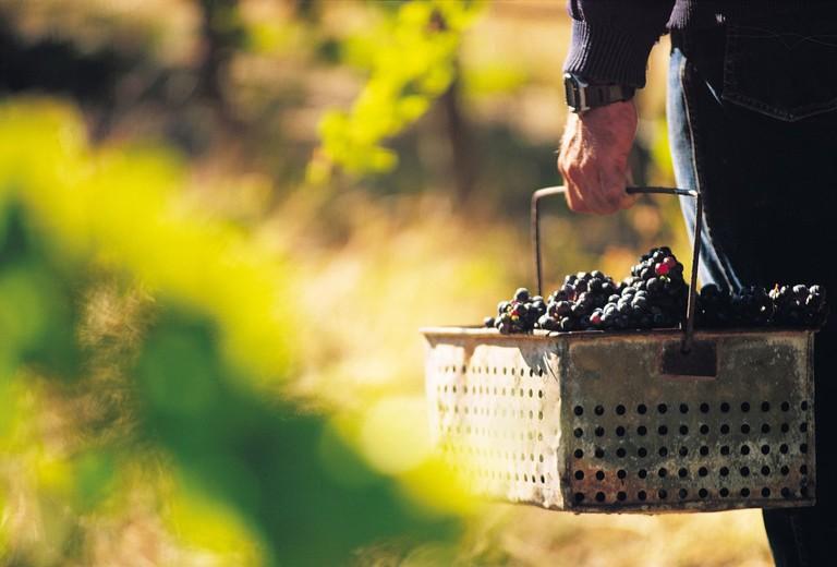 Basket of Grapes   Courtesy of SATC