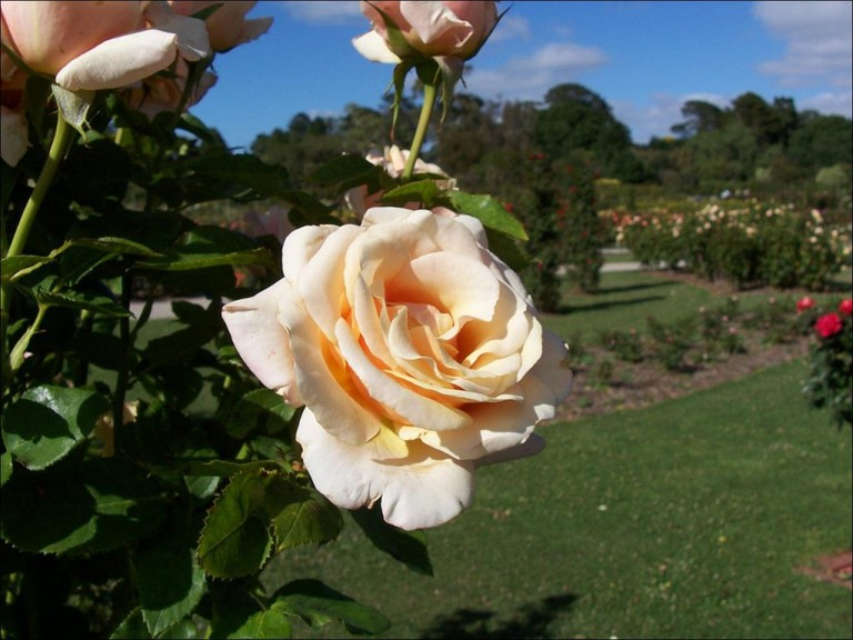 Rose Garden © Hourann Bosci/Flickr