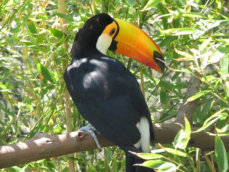 Toucan  © Glen Bowman/WikiCommons