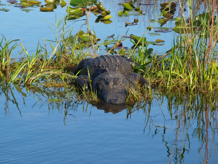 The Florida Aligator is the apex predator in the swampy wetlands of South East Florida   Courtesy of Rafal Prochnia/Flickr