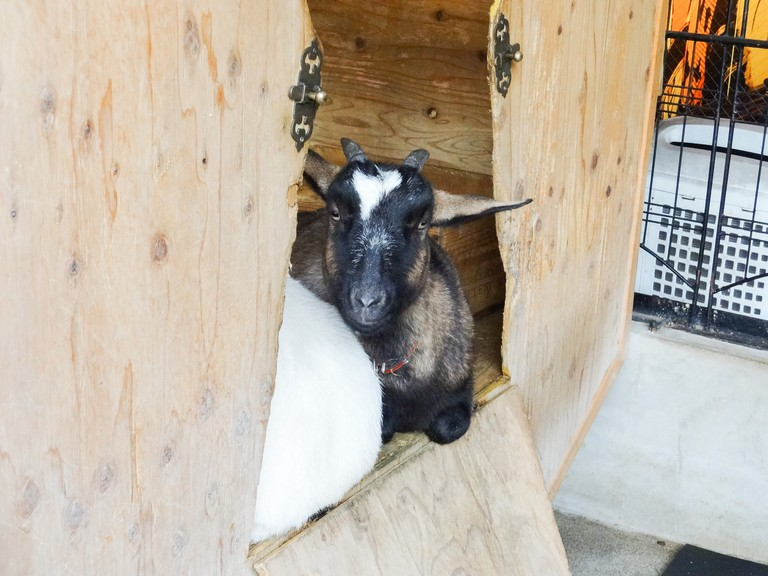 Resident goat taking a rest at Sakuragaoka Cafe