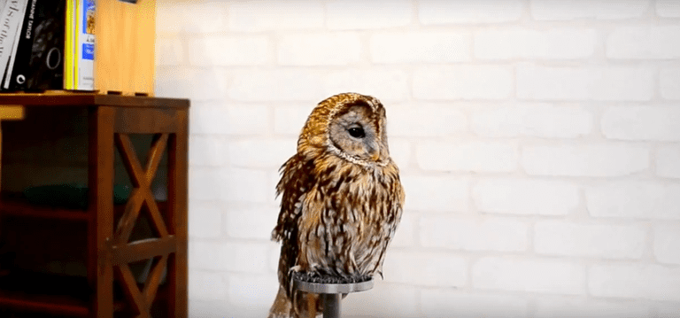 An owl at Cafe Baron