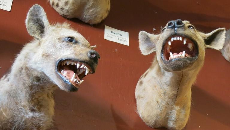 Paxton Gate Hyenas