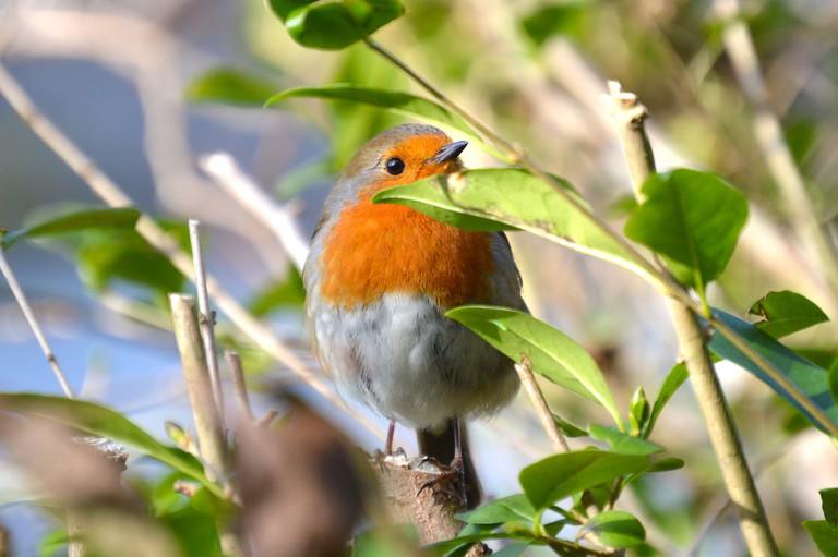 Robin | © theleastweasel/Flickr