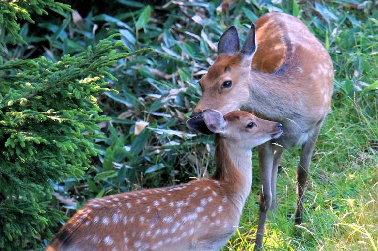 Deer in Shiratoko National Park